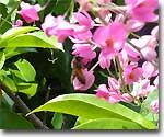 アサヒカズラの花の蜜集め